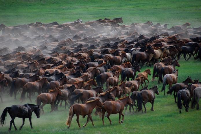 Film The Two Horses of Genghis Khan -  Horses running field  ( Photography by Jiska Rickels)