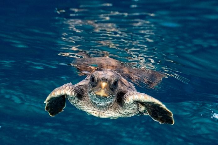 Loggerhead Turtle (Jim Abernethy) 020629_180540_11